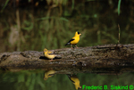 Goldfinches and reflections (SB422)
