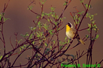 Yellowthroat singing (SB690)