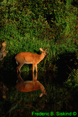 White-tailed deer and reflection (MM320)