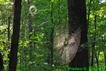 Orb-weaver spider webs (DSP266)