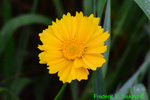 Lance-Leaf Coreopsis/Tickseed Coreopsis (DFL952b)