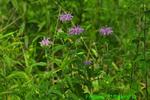 Bee balm/wild bergamot (DFL973)