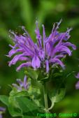 Bee balm/wild bergamot(DFL973)