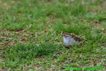 Chipping sparrow (DSB526)
