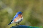Eastern Bluebird (DSB464)