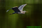Great blue heron flying (DHR81)