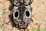 Eastern Eyed Click beetle (DIN482)