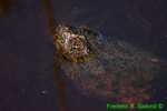 Snapping turtle head (DTT141)