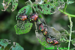 Japanese beetles with eaten leaves (DIN1361)