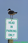 Laughing gull obeying parking sign (DGT57)