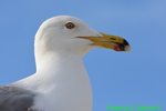 Ring-billed gull (DGT67)