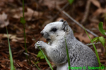 Delmarva fox squirrel (DMM102)