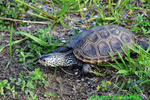 Northern Diamondback Terrapin (DTT182)