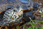 Northern Diamondback Terrapin head (DTT179)