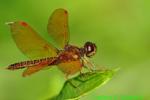 Eastern Amberwing (DDF798)