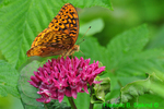 Great Spangled Fritillary nectoring on Purple Milkweed (DBU298)