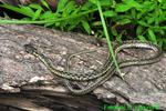 Eastern Garter Snake (DSN176)