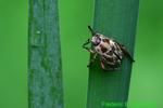 Oriental beetle (DIN1411)