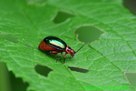 Flea beetle (DIN1421)