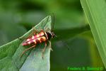 Flower longhorn beetle (DIN1431)