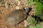 Wood turtle  (DTT191)