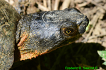 Wood turtle head  (DTT192)