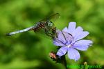 Blue Dasher on Chicory (DDF1911)