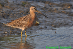 Short-billed dowitcher (DSH116)