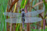 Spot-winged glider (DDF1578)