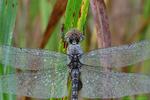 Spot-winged glider (DDF1578a)