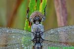 Spot-winged glider (DDF1578c)