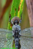 Spot-winged glider (DDF1579b)