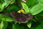 Wild Indigo duskywing (DBU1573)