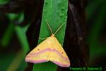 Chickweed Geometer Moth (DBU1911)