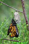 Newly emerged Monarch hanging from chrysalis and pumping wings (DBU1809)