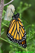 Newly emerged Monarch hanging from chrysalis and drying wings (DBU1809)