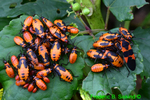 Large milkweed bug and nymphs, (DIN300a)