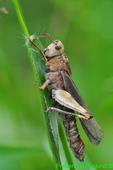 Northern Green-striped Grasshopper (DIN1461)
