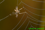 Fly in spiderweb with dew (DDW31)