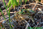 Northern leopard frog (DFR255)