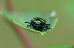Dogbane Beetle (DIN1501)