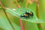 Dogbane Beetle (DIN1503)