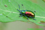 Dogbane Beetle (DIN1502)
