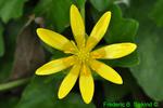 Lesser celandine (DFL1006)