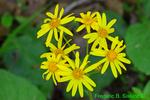 Golden groundsel or Golden ragwort (DFL1576)