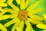 Golden groundsel or Golden ragwort (DFL1577)