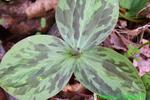 Sessile Trillium or Toadshade bud (DFL1601)