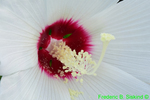 Swamp rose mallow (DFL449)