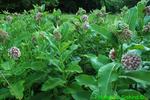 Common milkweed  (DFL62d)