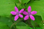 Deptford Pink (DFL1653)
